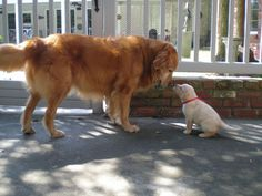 10 Things Only Golden Retriever Owners Understand | WOOFipedia by The American Kennel Club