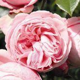 http://www.garden-roses.co.uk/catalog/giardina/