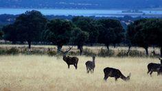 #campo #caza #berrea #ciervo #hunter #hunt #hunting #deer #pasionmorena