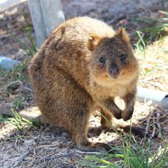 「Hey there! Met this cute little creature - a mocha coloured quokka - on Rottnest island which is only a 90 minute ferry ride away from Perth. He came…」