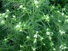 Mountain Mint (Pycnanthemum virginianum) Bloom Period: July-August Bloom Color: White Height: ft Location: Sun Spreads slowly by rhizomes Border Plants, Rain Garden, Outdoor Plants, Native Plants, Spreads, Wild Flowers, Period, Bloom, Mountain