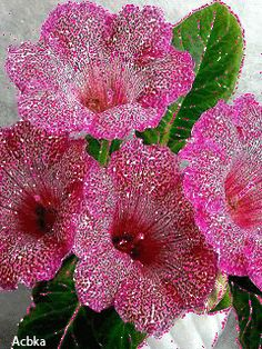 beautiful flowers and birds images Strange Flowers, Unusual Flowers, Unusual Plants, Flowers Gif, Beautiful Flowers, Ornamental Plants, Shade Plants, Trees To Plant, Hibiscus