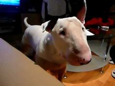 "Bullterrier says: Mama  ~ It is my new goal to get LaRue to say ""mama""!"