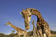 New study says giraffes are 4 species, not 1  Math: data analysis (1 species of population data vs 4)