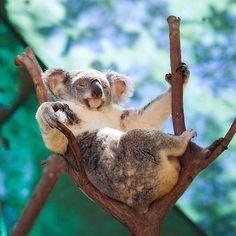 2f448f057161 A very layback Koala at Currumbin Wildlife Sanctuary on the Gold Coast