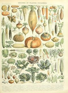 Nouveau Larousse illustré : Légumes et plantes potagéres