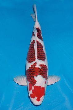 Kumonryu looks like shamu for the fish pinterest for Kumonryu koi for sale
