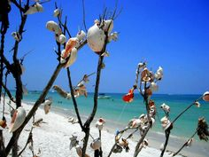 The Shell Tree! The shell tree is a spontaneous project where people strolling northward on Clearwater Beach have hung shells and various other objects onto a tree on the shores of the barrier island . Cruise Vacation, Vacation Spots, Vacation Ideas, Vacations, Dunedin Florida, Florida 2017, Royal Shell, Great Places, Places To Go