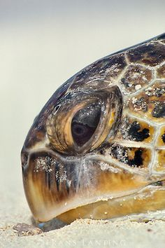 """Photos by """"A storm came and an island went. East Island was tiny, but for sea turtles in Hawaii it was the center of their… Turtle Beach, Turtle Love, Regard Animal, Animals And Pets, Cute Animals, Frans Lanting, Wild Creatures, Reptiles And Amphibians, Tortoises"""
