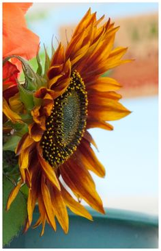 A favorite, the autumn sunflower.blazing above the fallen autumn leaves. Happy Flowers, Beautiful Flowers, Fall Flowers, Arte Floral, Happy Fall, Gerbera, Fall Halloween, Autumn Leaves, Gardening