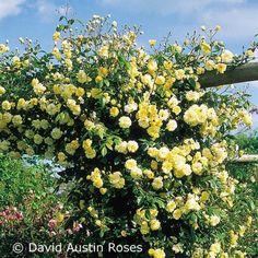 Öfterblühende Ramblerrose - Malvern Hills®