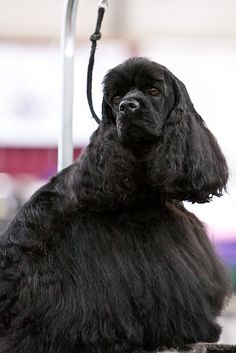 "Check out our web site for even more information on ""cocker spaniel dog"". It is an outstanding spot for more information. King Charles Cocker Spaniel, Black Cocker Spaniel, American Cocker Spaniel, Cocker Spaniel Puppies, English Cocker Spaniel, Spaniel Dog, Cockerspaniel, Beautiful Dogs, Dog Grooming"