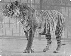 This Day in History: Sep 27, 1937: Balinese Tiger declared extinct.