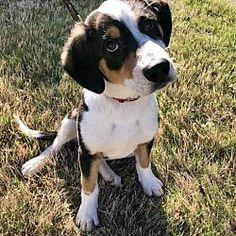 Hagerstown, Maryland - Australian Shepherd. Meet Wrigley, a for adoption. https://www.adoptapet.com/pet/21429484-hagerstown-maryland-australian-shepherd-mix