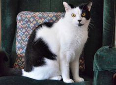 Moo-Moo-an-adoptable-cat-in-New-Jersey