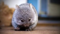Cute Baby Wombats | one of the orphaned wombats in kate mooney s care on flinders island ...