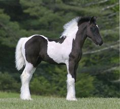 SWF Blue My Mind, 2011 Gypsy Vanner Horse colt -- dream horse! Cute Horses, Pretty Horses, Horse Love, Majestic Horse, Majestic Animals, Most Beautiful Horses, Animals Beautiful, Poney Miniature, Cute Baby Animals