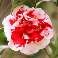 C. japonica 'Dixie Knight Supreme