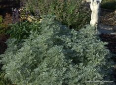 'Powis Castle' Artemisia (Planting and Rooting) - Growing The Home Garden Lawn And Garden, Home And Garden, Deer Resistant Perennials, Bird Bath Garden, Companion Planting, Salvia, Cool Plants, Horticulture, Garden Plants