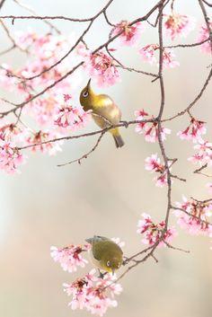 おかめジロ White eye with blossom