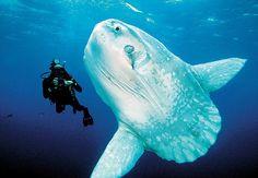 Sunfish, can grow 20 feet long.  I'd love to meet one.
