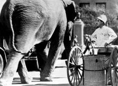 Elephant plus Chaplin in City Lights, 1931