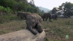 A baby elephant at the Elephant Nature Park in Chiang Mai, Thailand, plays happily around the reserve, swinging his trunk and adorably trying to conquer a stubborn log over and over again until he ...