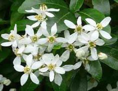 Choisya a lovely early summer flowering evergreen shrub, easy to grow with lovely scent it ticks all the boxes.