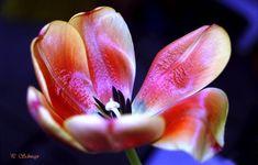 Tulpe 🌷🌷🌷 kreativesbypetra Petra, Canon, Photoshop, Plants, Tulips, Cannon, Plant, Planets