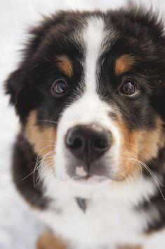 Bernese Mountain Dog puppy, Berner, © Ashleigh Miller Photography | Colorado Dog Portraits #BerneseMountainDog