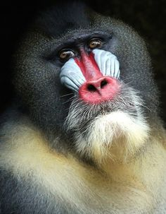 Male Mandrill (Vulnerable)