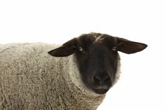 Large Mounted Canvas Suffolk Ewe Black and White  Animal Photography French Country Decor