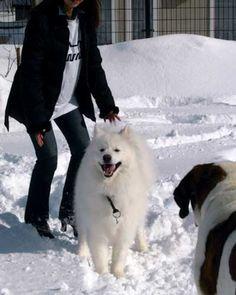 Samoyed Smile