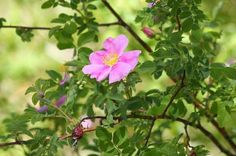 Woods Rose is a native to Central Oregon and is a lovely wild rose bush.
