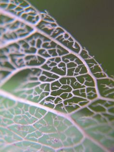 A leaf's skeleton. It's a C.U of my skeleton leaf shoot.