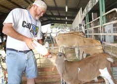 Beef, not dairy cows, more popular at Benton Franklin Fair & Rodeo | Local News | Tri-CityHerald.com