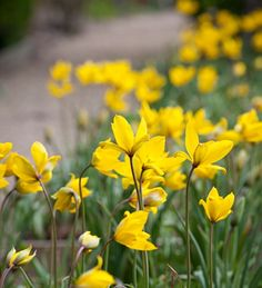 The wild native tulip which grows well in grass and in light shade under trees and it has a delicious scent. Plant it this year and it will be there for decades.