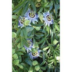 Mučenka modrá (1)