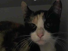 Gone but NOT forgotten- TO BE DESTROYED 4/4/14- Manhattan Center  My name is TURTLE. My Animal ID # is A0995041. I am a female calico and white domestic sh mix. The shelter thinks I am about 1 YR 1 MO old.  I came in the shelter as a STRAY…