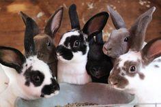 Mini Rex rabbits http://owensrunrabbitry.weebly.com/ https://www.facebook.com/pages/Owens-Run-Rabbitry/345244888912309?ref=hl