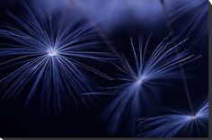 Indigo blue dandelion seed heads
