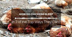how_do_chickens_sleep