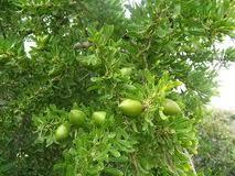 The fruit of the Argan Tree......Rejuvenating properties from head to toe !!! http://shop.allnaturalskincare.com/Argan-Oil-Facial-Serum_c9.htm