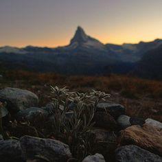 Edelweiss in front of Matterhorn #switzerland #zermatt #matterhorn #edelweiss