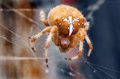 CROSS SPIDER // ARAÑA DE LA CRUZ by Marcos SF on 500px