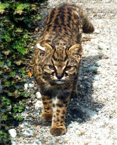 Kodkod or Huina - Two subspecies exist Guigna guigna, Guigna tigrillo.The kodkod is the smallest South American cat, about half… Small Wild Cats, Big Cats, Cats And Kittens, Felis Margarita, Black Footed Cat, Wild Cat Species, Animals And Pets, Cute Animals, Domestic Cat Breeds