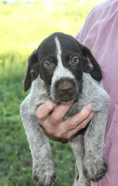"""Explore our web site for additional relevant information on """"pointer pups"""". It is an outstanding area for more information. Pointer Puppies, Pointer Dog, Puppies For Sale, Cute Puppies, German Wirehaired Pointer Puppy, I Love Dogs, Puppy Love, Animal Bones, Happy Animals"""