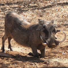 "11 Likes, 1 Comments - Riebelton Safaris (@riebelton_safaris) on Instagram: ""A magnificent trophy Warthog boar! #warthog #warthogs"""