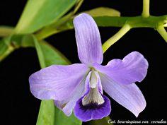 Cattleya bowringiana var. coerulea - Flickr - Photo Sharing!