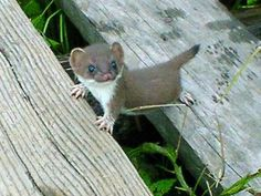 A baby stoat...W-h-o-o-o-h could resist??? S-O-O-O-O adorable. I think they're in the same family with weasels, minks and ferrets...it may be a baby Pine Marten